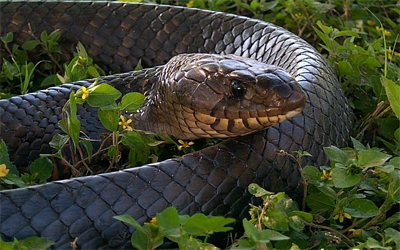 Texas Indigo Snake - Click Here to see full-size image! Please DO NOT kill these snakes- they eat rattlesnakes!
